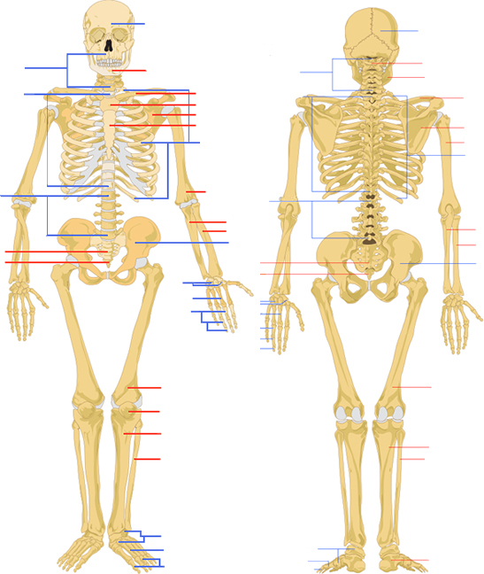 Skeletal System Review Key